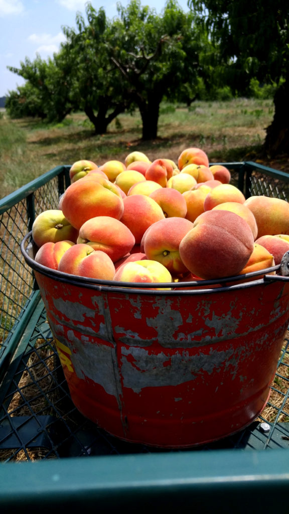 Bucket of Freshly Picked Peaches from Gregg Farms
