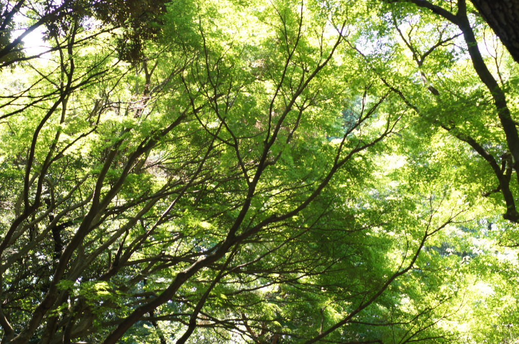 Beautiful Canopy of Trees in Shinjuku Gyoen National Garden