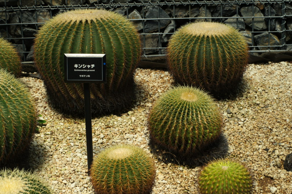 Golden Barrel Cactus (Echinocactus grusonii) in Shinjuku Gyoen Greenhouse
