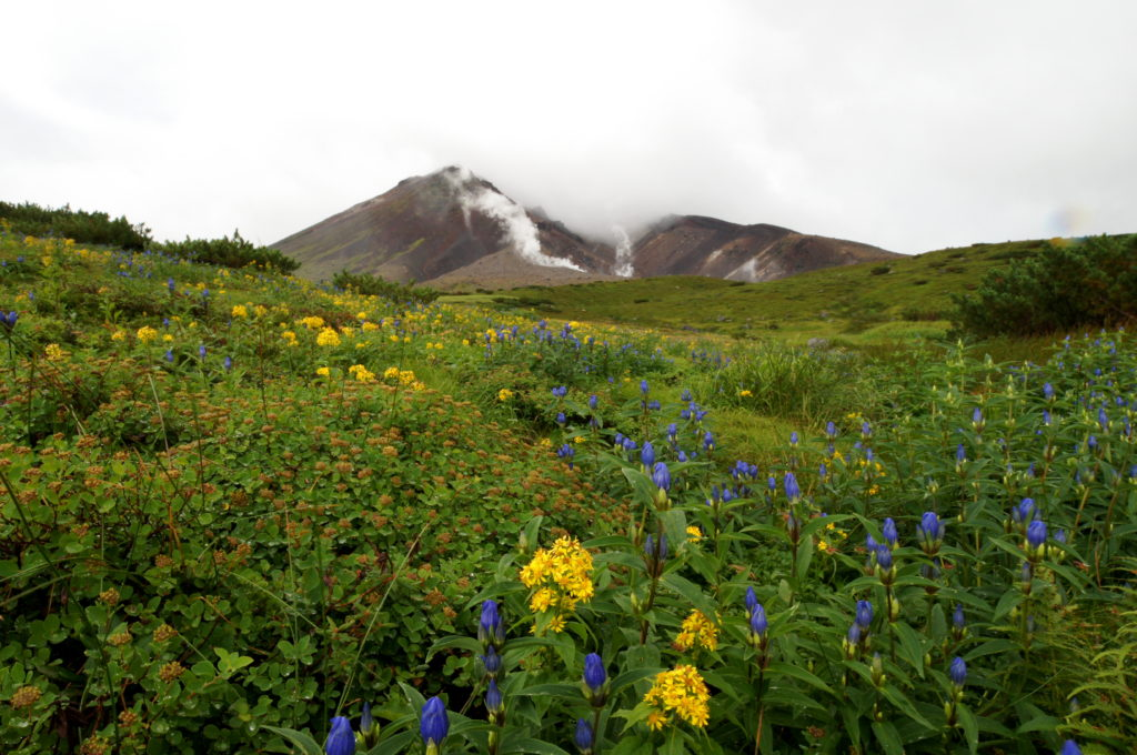 View of Mount Asahidake with Wildflowers in Late August