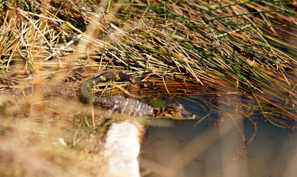 A Baby Alligator Lounging at the Edge of the Water in Shark Valley