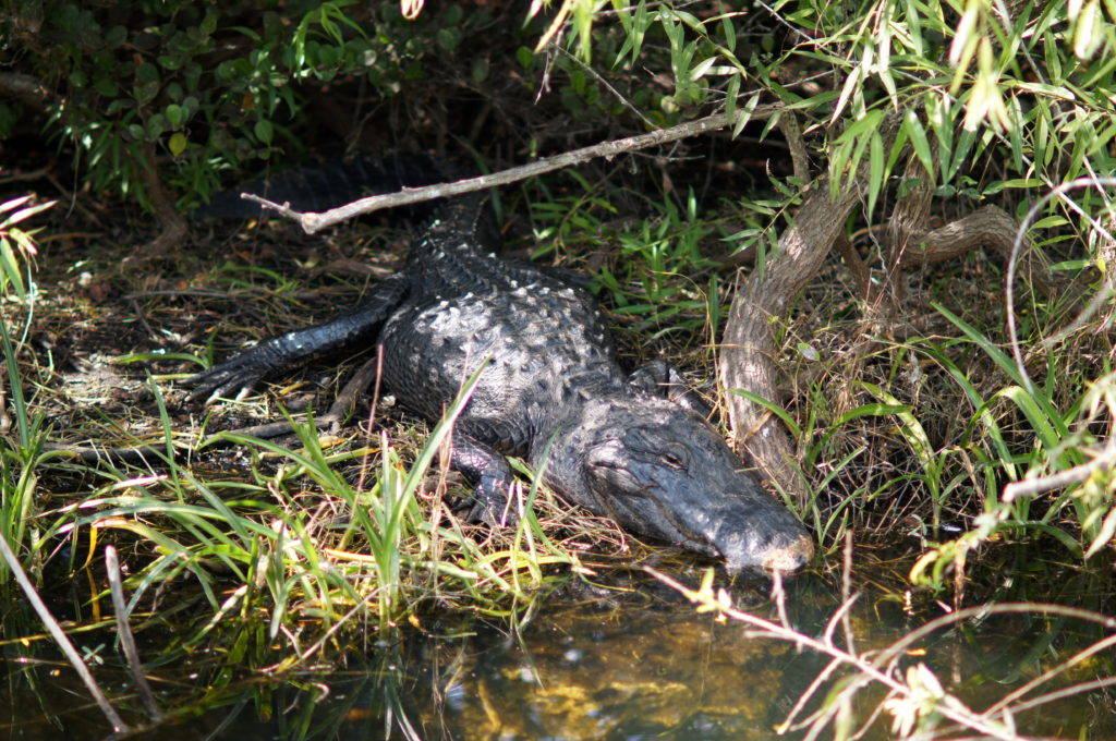 A Lazy Alligator Basking in the Sun at Shark Valley, Everglades National Park