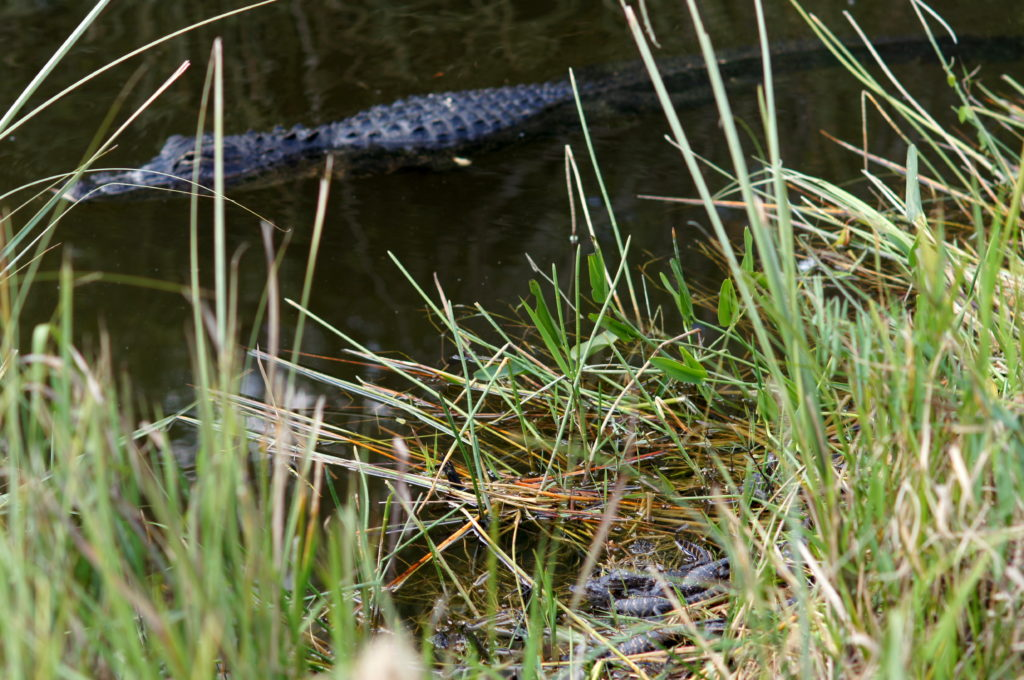 A Mother Alligator (Top) Keeps a Watchful Eye on her Hatchlings (Bottom) at Shark Valley