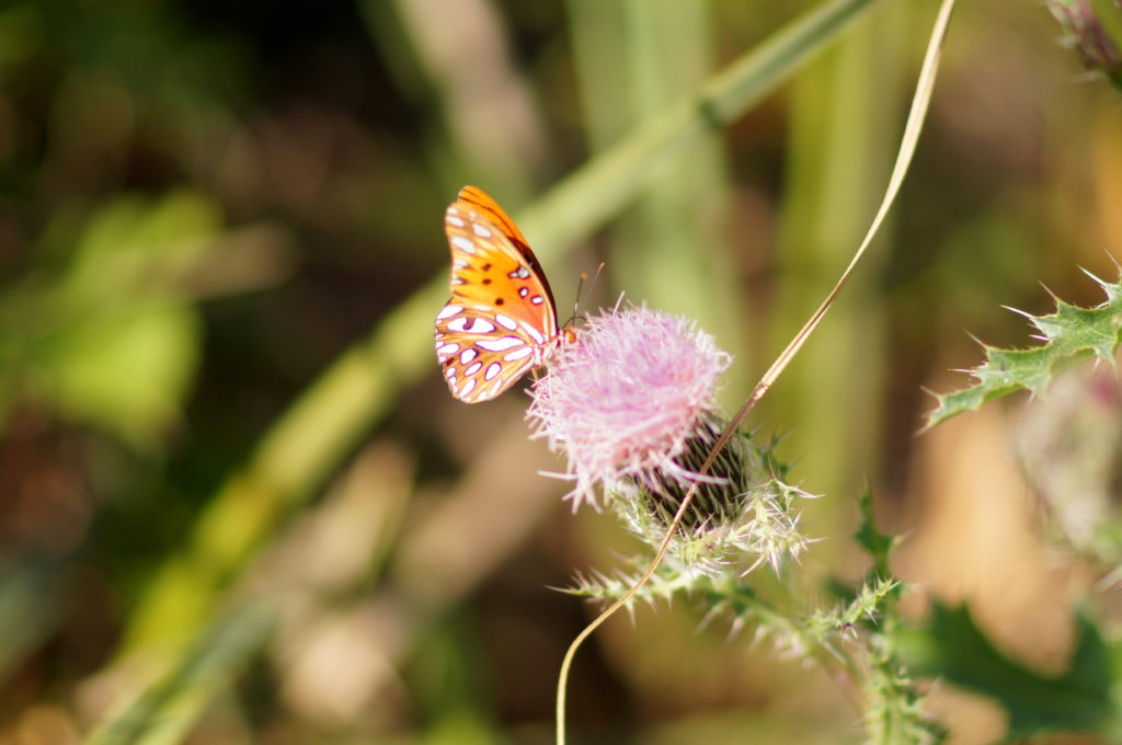 Butterfly on Flower in Shark Valley, Everglades