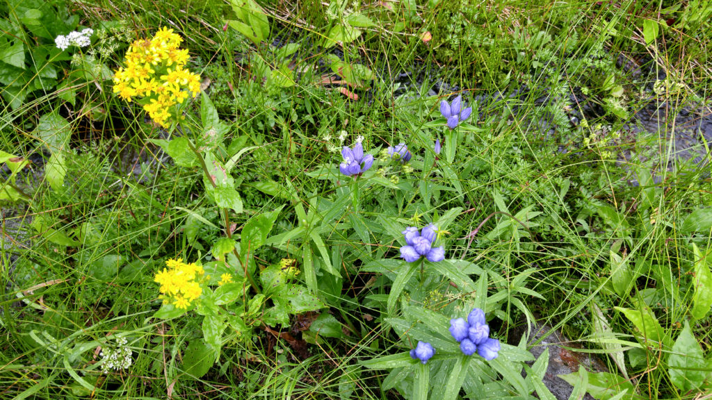 Flowers in Alpine Meadow on Hiking Trail to Sugatami Station in Daisetsuzan