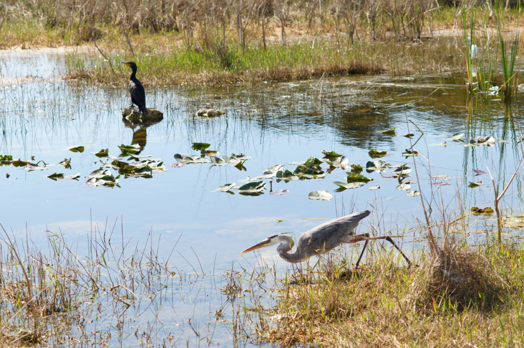 Great Blue Heron Lunging for Fish