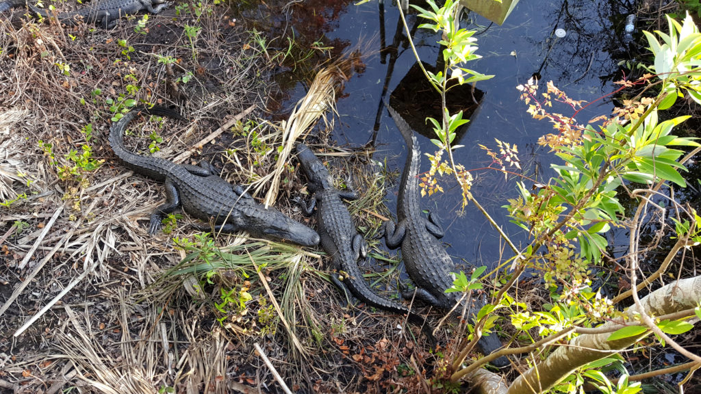 View of Alligators from the Shark Valley Observation Tower small